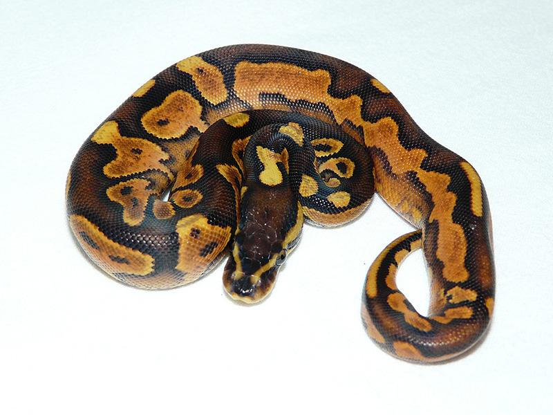 Black Pastel Enchi Yellow Belly