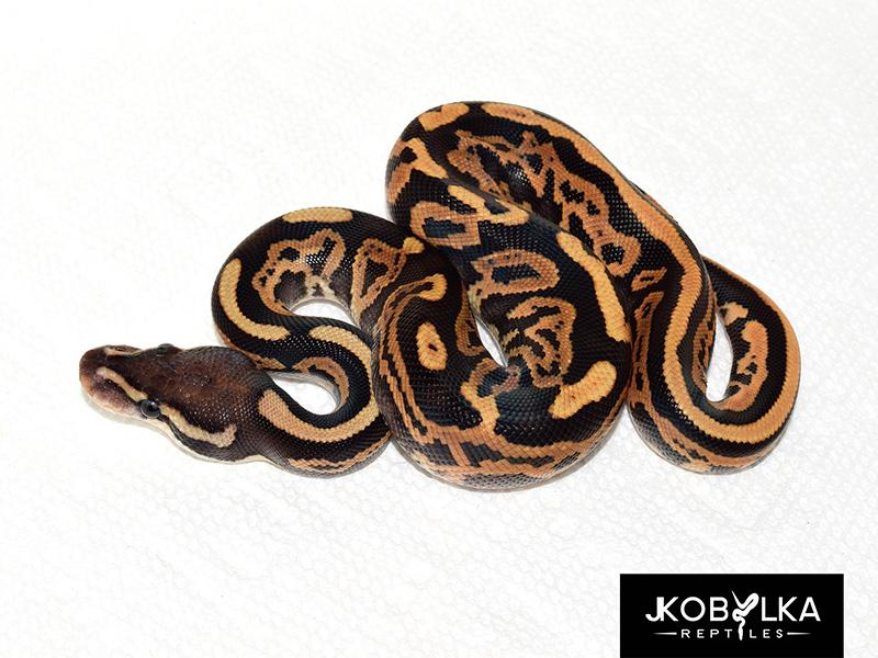 Black Pastel Fire Leopard