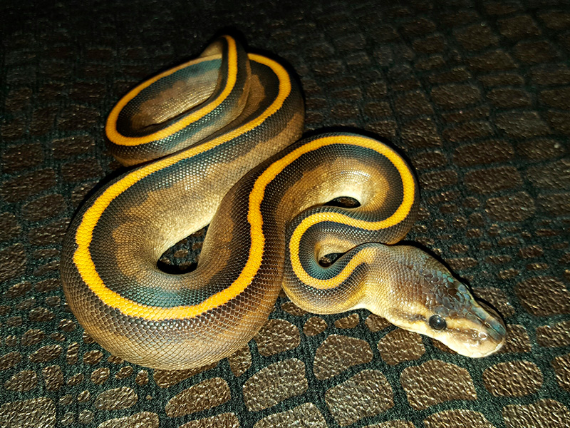 Black Pastel Genetic Stripe Lesser