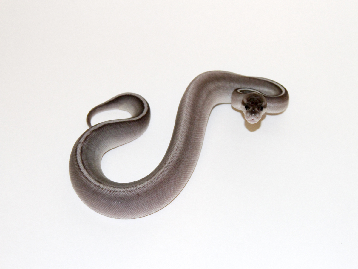 Black Pastel Huffman Mojave Yellow Belly