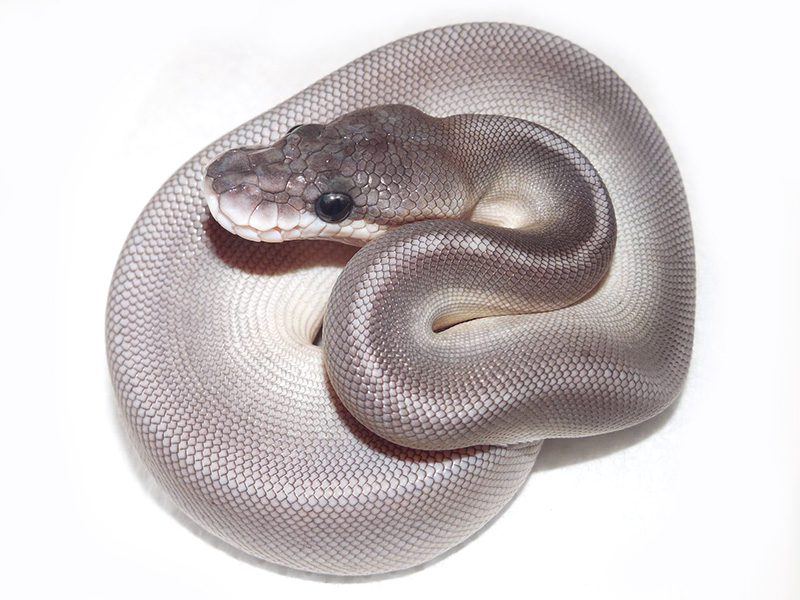 Black Pastel Lesser Huffman