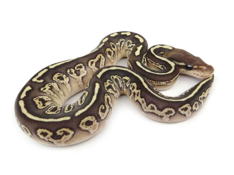 ball python logo by - photo #16
