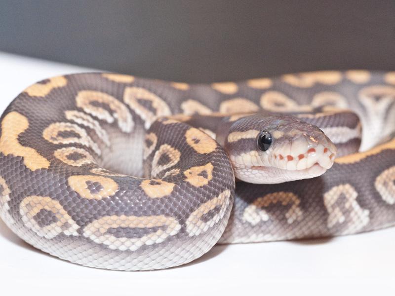 Black Pastel Mojave Hypo