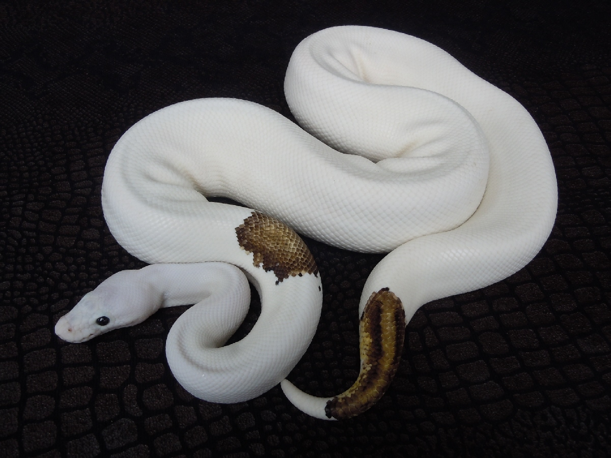 Black Pastel Pastel Piebald Yellow Belly