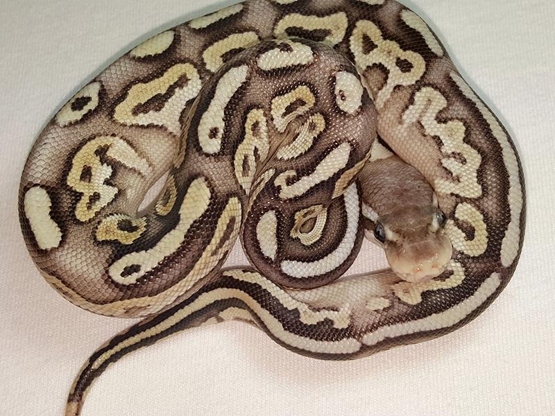 Black Pastel Super Pastel Vanilla