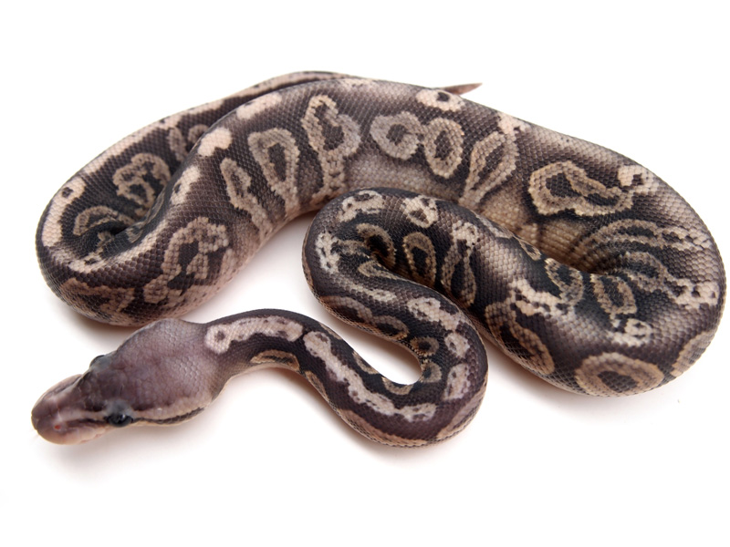 Black Pewter Ball Python Black pewter orange ghost