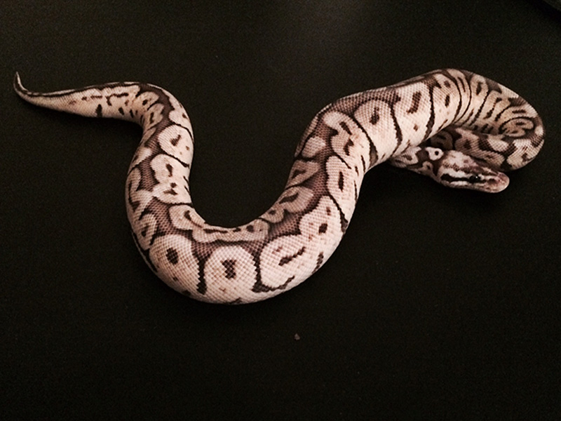 Black Widow Morph List World Of Ball Pythons