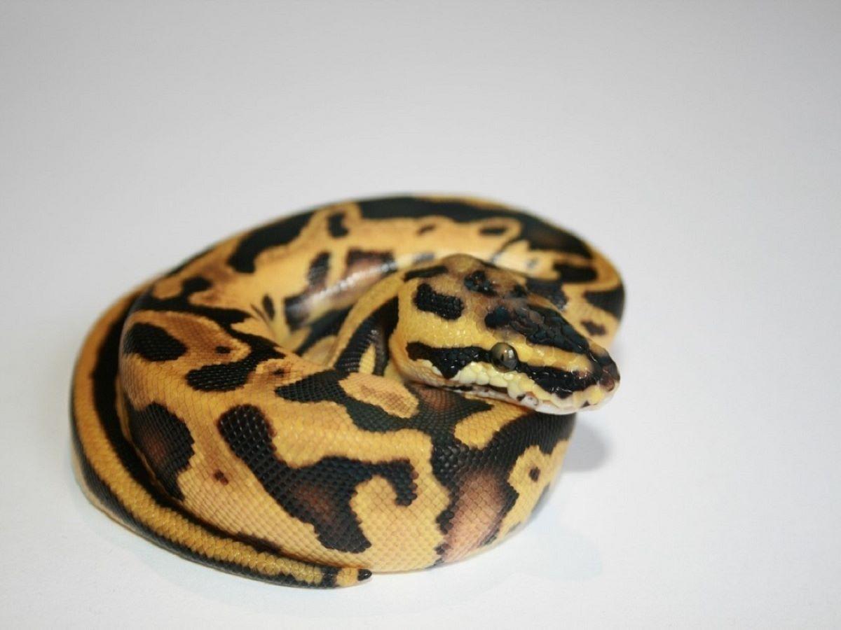 Blaze Blonde Pastel Enchi Leopard