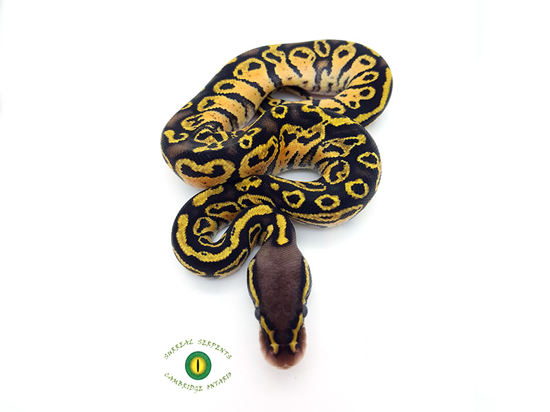 Blitz Pastel Yellow Belly