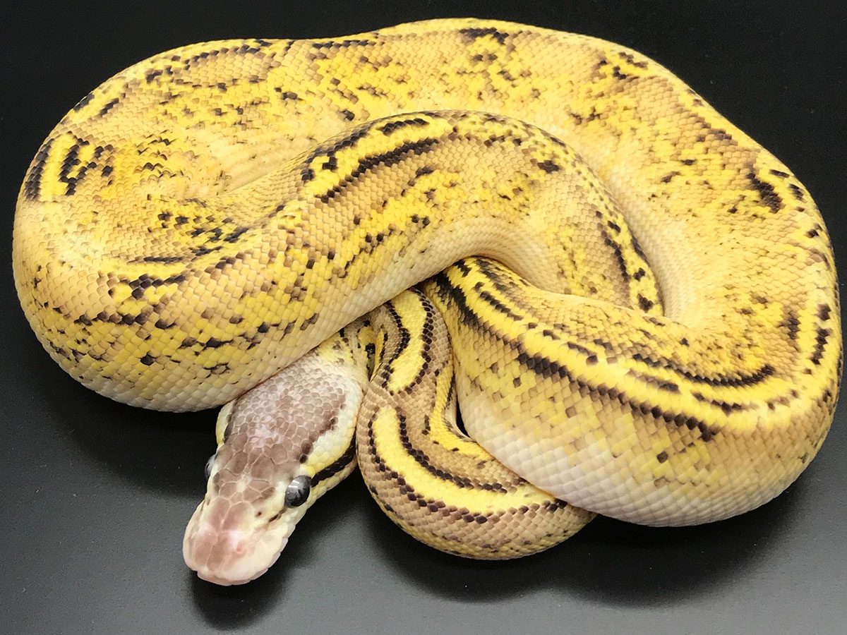Bongo Fire Pastel Yellow Belly