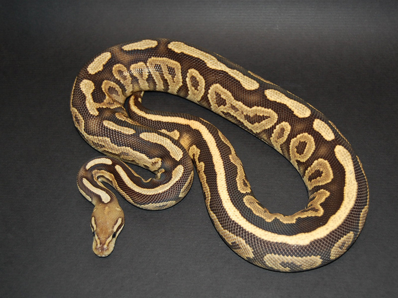 ball python logo by - photo #15