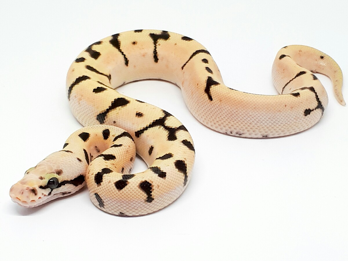 Bumble Bee Enchi Fire - Morph List - World of Ball Pythons