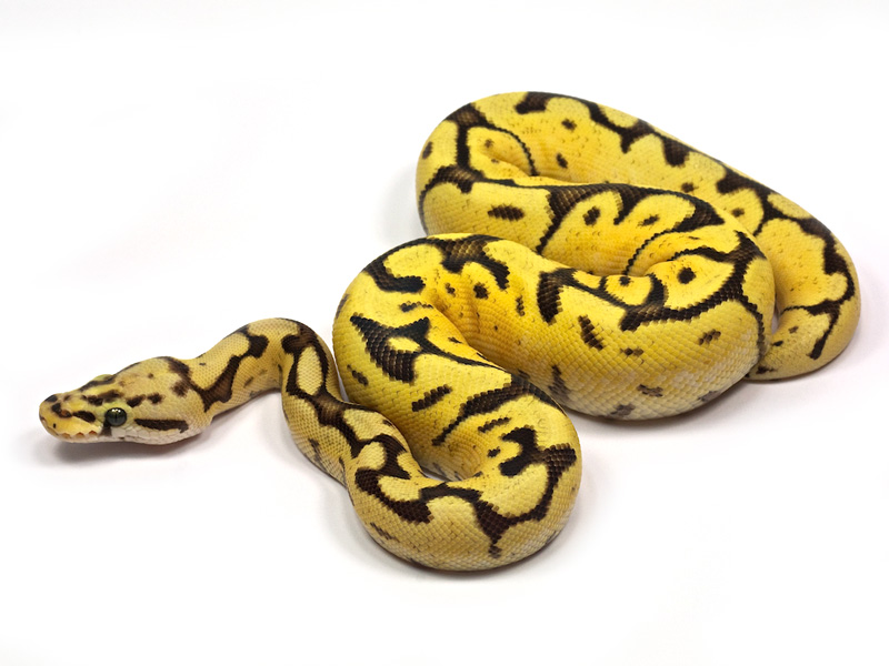 Lijst van reptielen in Suriname  Wikipedia