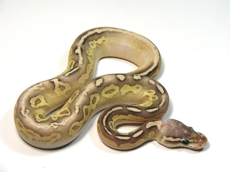 Butter Cinnamon Pastel Vanilla