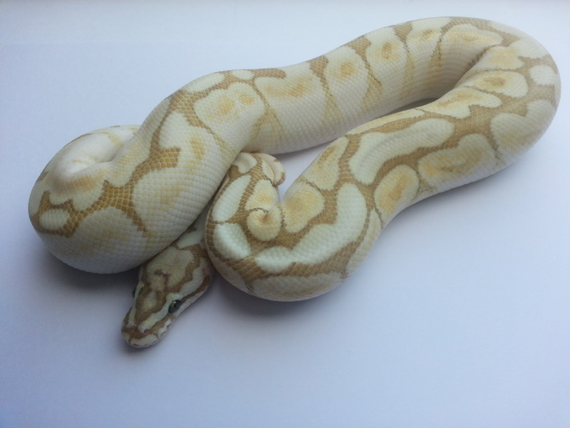 Butter Daddy Bee Yellow Belly