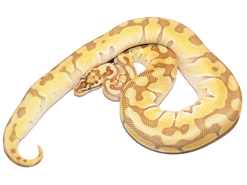 Butter Enchi Fire Pastel Woma