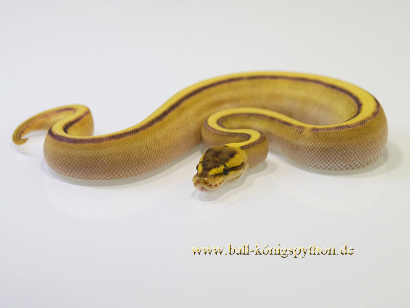Butter Enchi Genetic Stripe Yellow Belly
