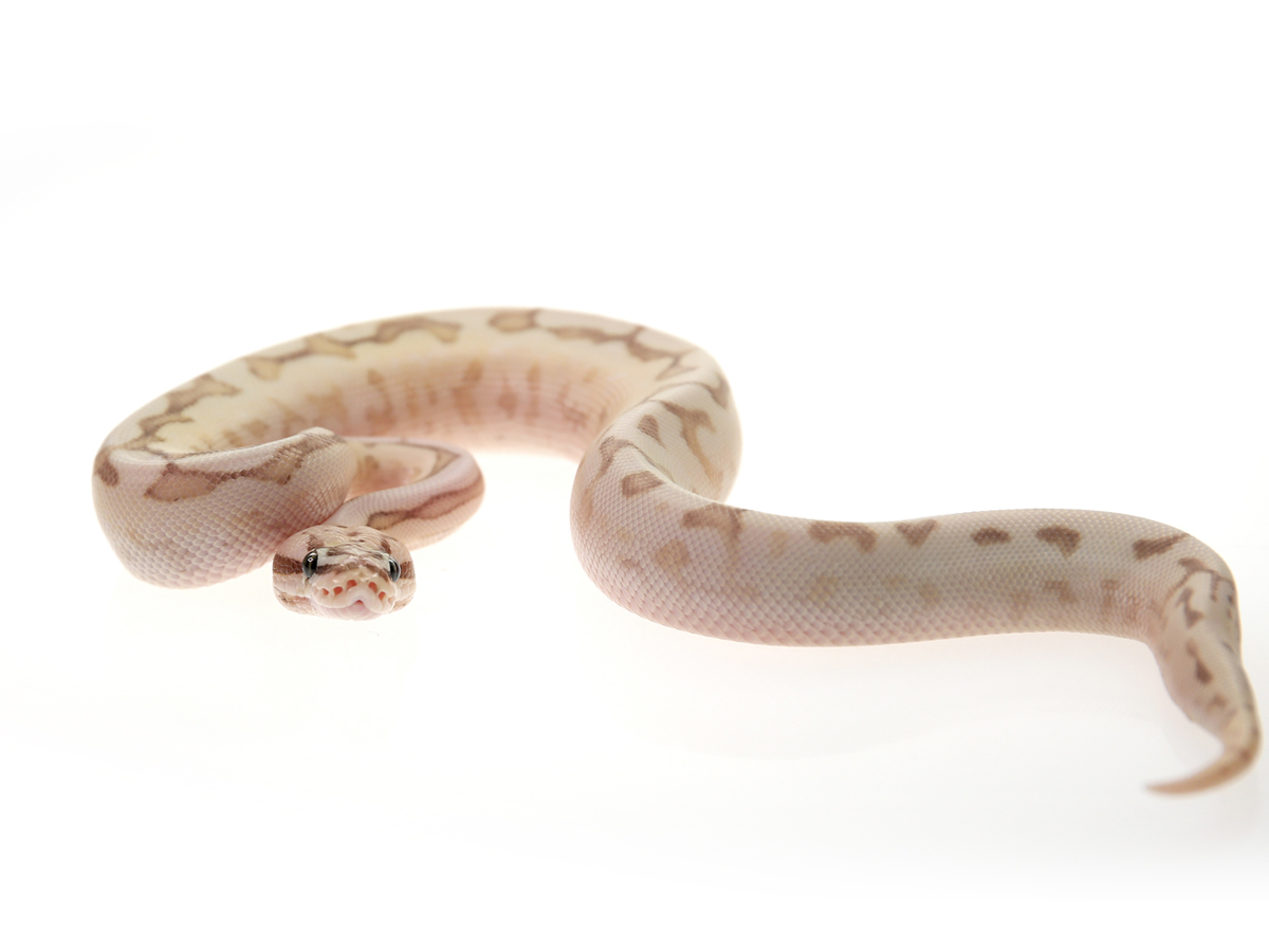 Butter Fire Pastel Spider Yellow Belly
