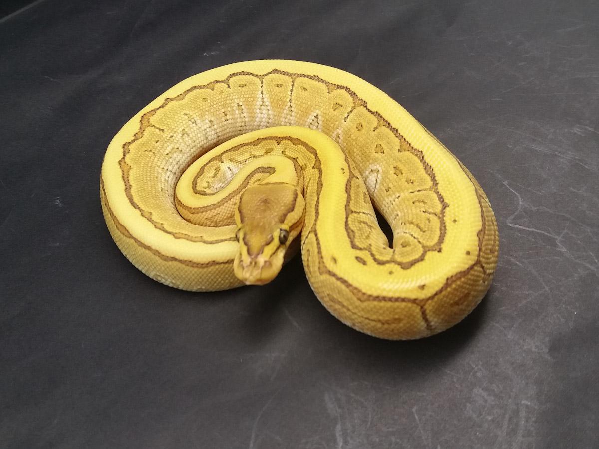Butter Fire Pinstripe Yellow Belly