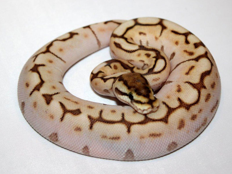 Butter Jungle Woma Spider