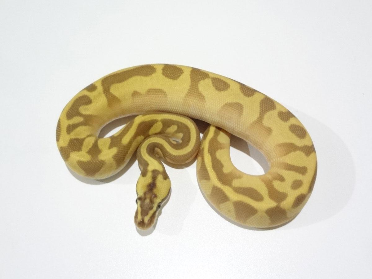Butter Leopard Pastel Super Enchi