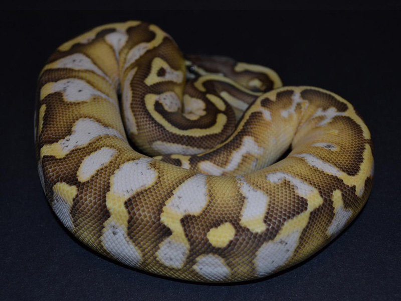 Butter Pastel Calico - Morph List - 139.8KB