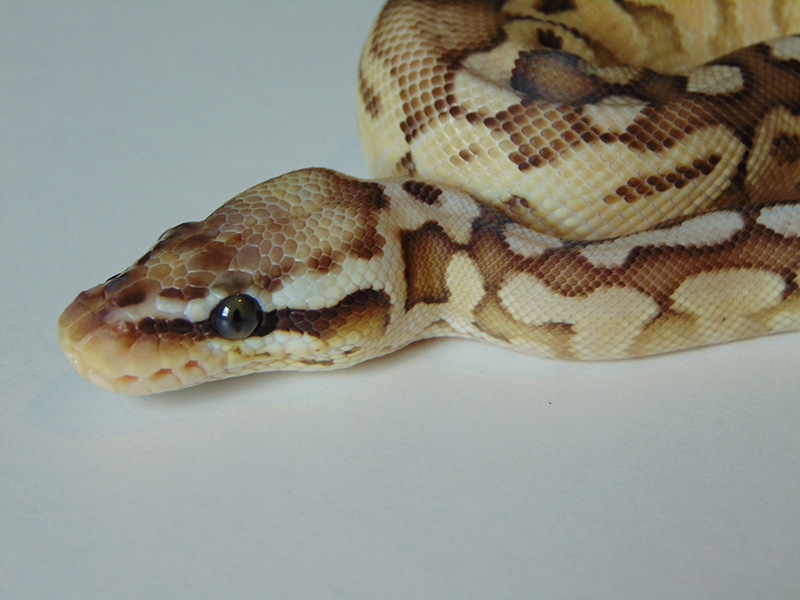 Butter Pastel Woma