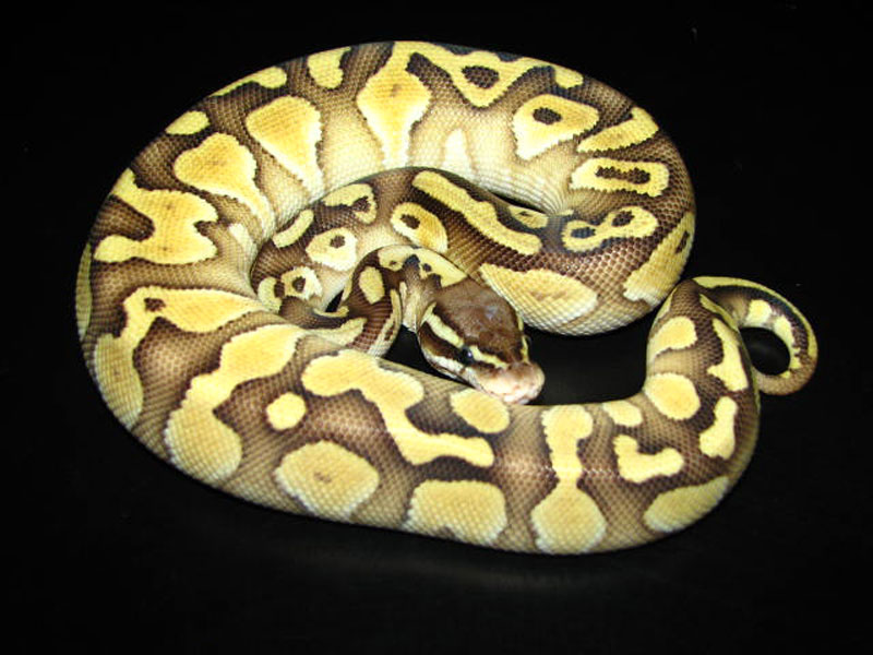 Pastel ball python - photo#21