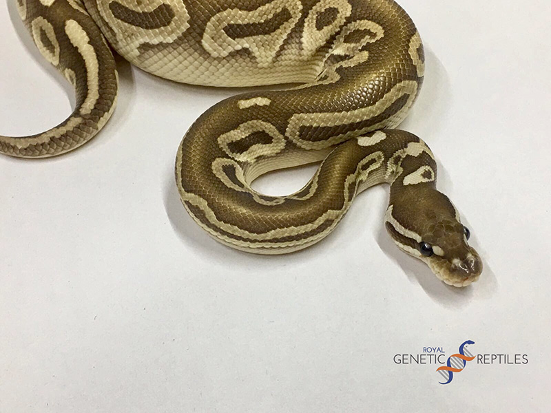 Butter Red Axanthic