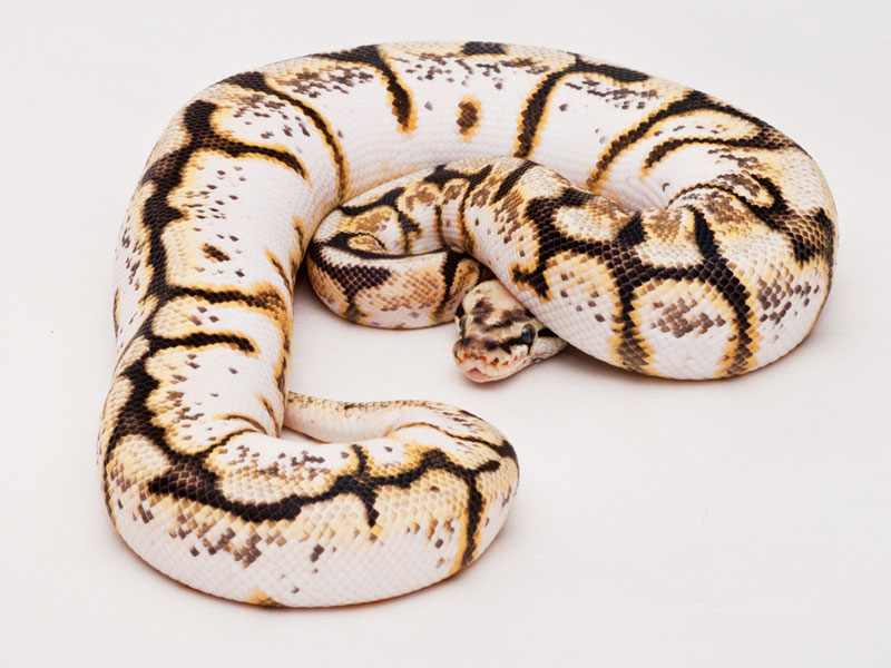 http://www.worldofballpythons.com/files/morphs/calibee/008.jpg
