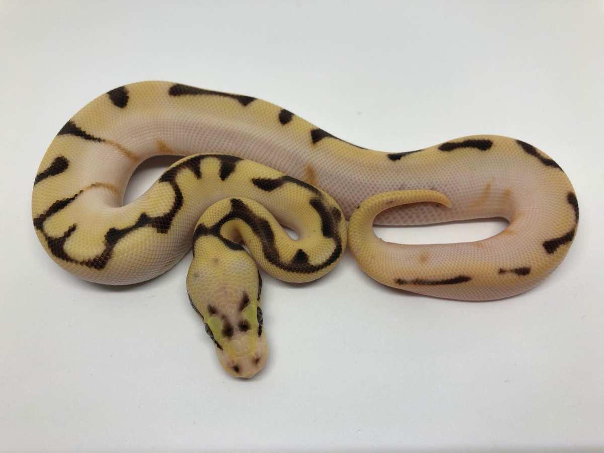 Calico Enchi Fire Orange Dream Pastel Spider Yellow Belly