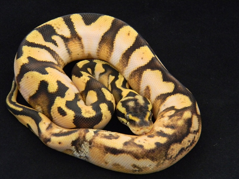 Calico Enchi Pastel - Morph List - 172.8KB