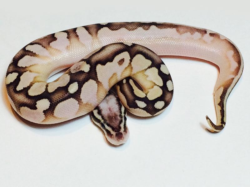 Calico Lesser Pastel Vanilla