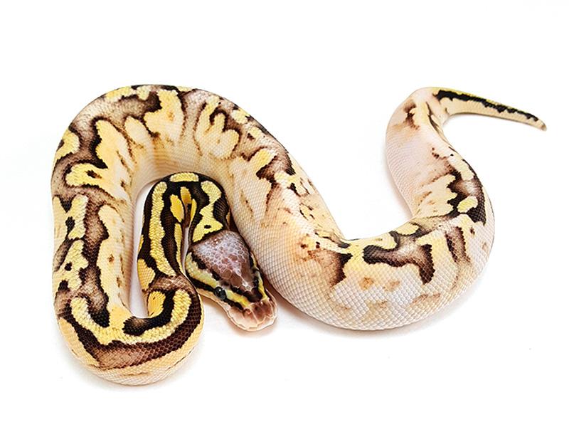 Calico Mojave Pastel Vanilla