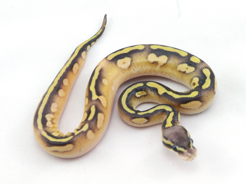 Calico Mojave Pastel Yellow Belly