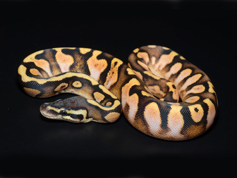 Calico Pastel - Morph List - World - 69.9KB