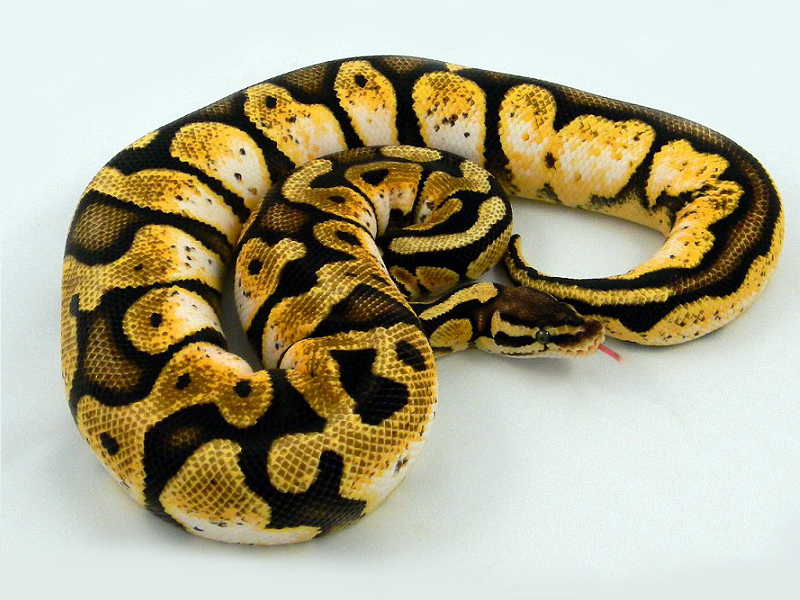 Calico Pastel - Morph List - World - 459.6KB