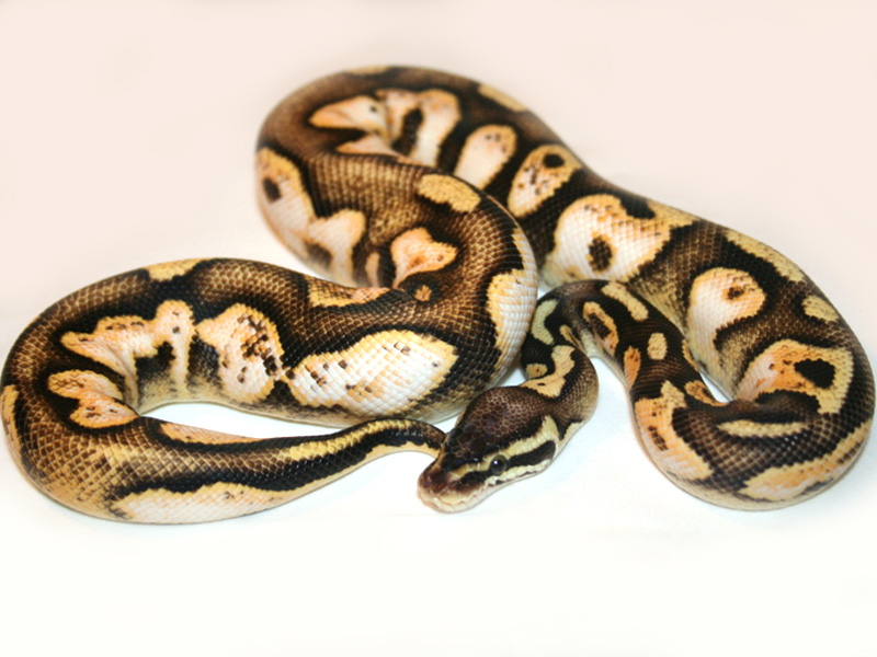 Calico Pastel - Morph List - World - 134.6KB