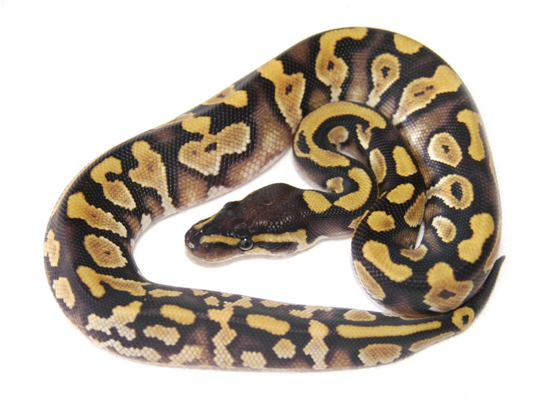 Calico Phantom