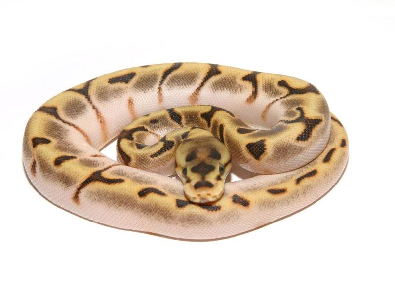 calico stinger bee morph list world of ball pythons