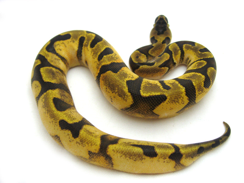 Ball Python Shed BallPythonShed  Twitter