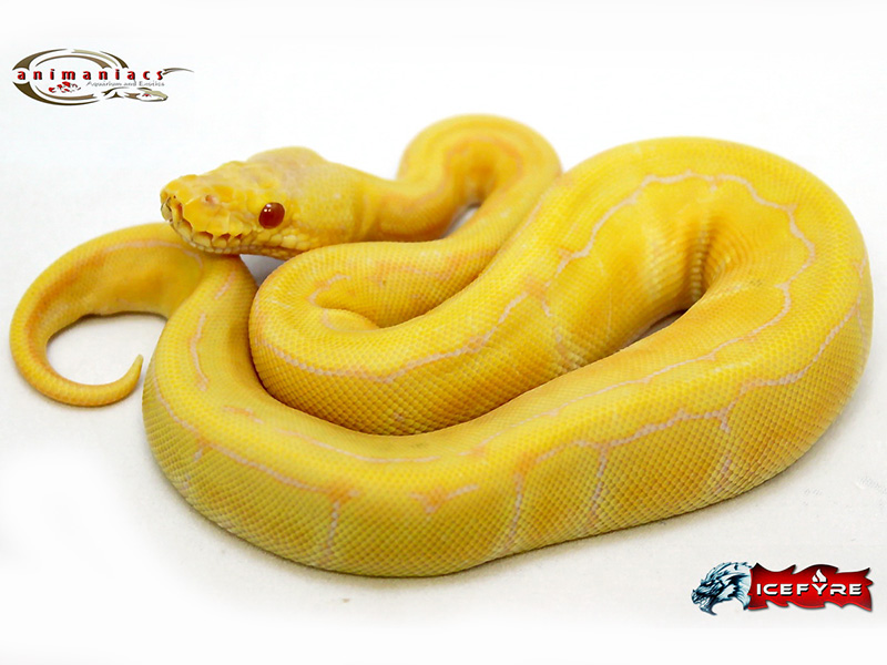 Candino Lemon Pastel Pinstripe