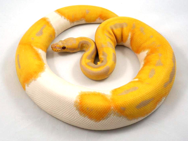 Candy Pied