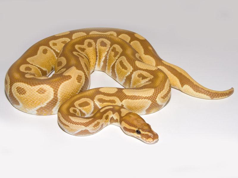 Caramel Albino (Crider Line)
