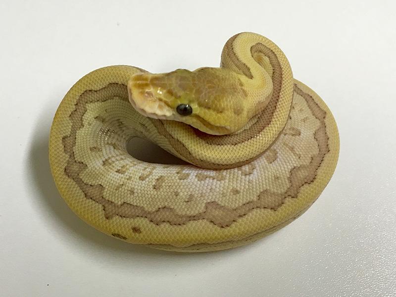 Caramel Albino Mojave Pinstripe
