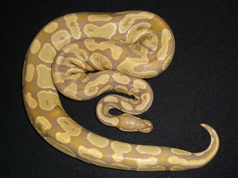 Caramel Albino (Upscale Line)