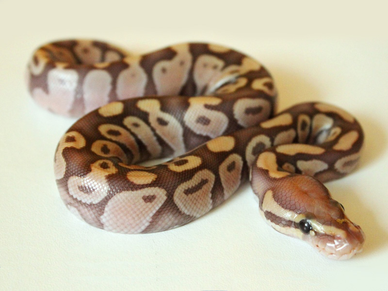 Caramel Albino