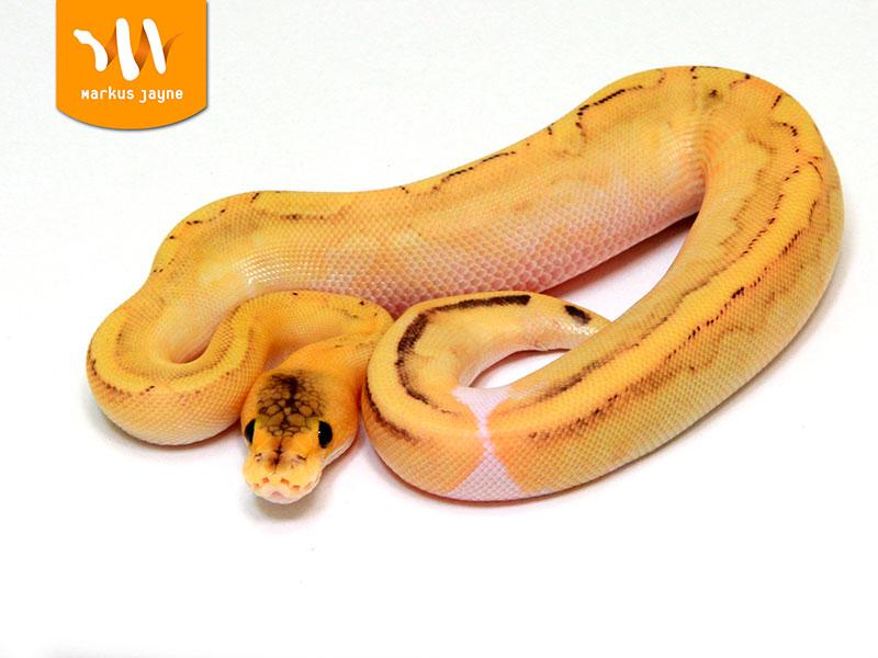 Champagne Fire Orange Dream Morph List World Of Ball Pythons