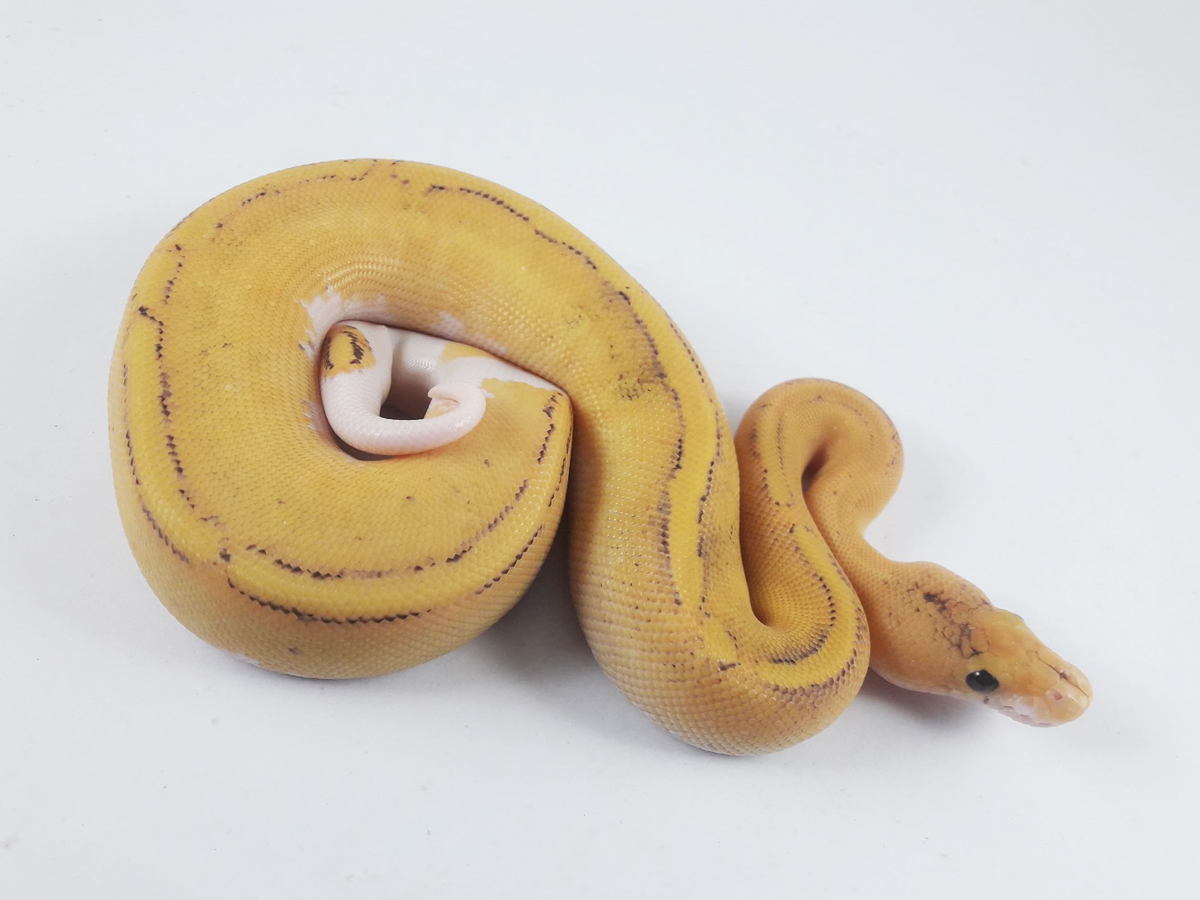 Champagne Fire Pastel Yellow Belly