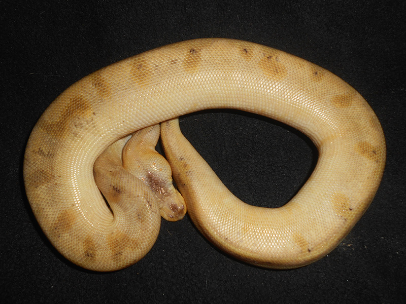 Champagne Mojave Yellow Belly